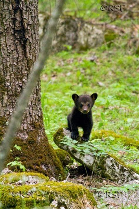230 best images about Eastern Woodland Wildlife, Past