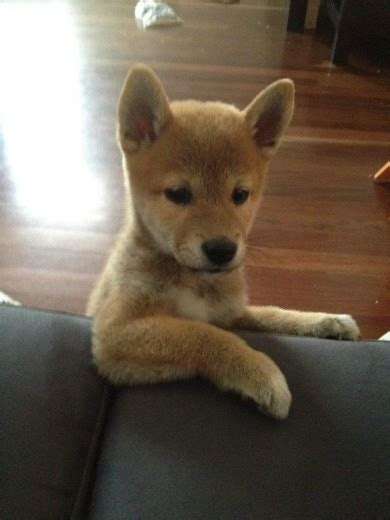 Awesome Shiba Inu Puppy Pictures