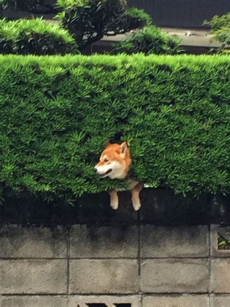 This Happy Shiba Inu Enjoys The View After Getting Stuck