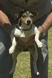 Parson Russell Terrier - Wikipedia