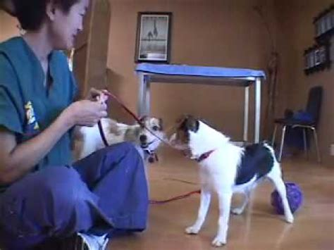 Jack Russell Terrier (JRT) Aggression When Blowing in Face